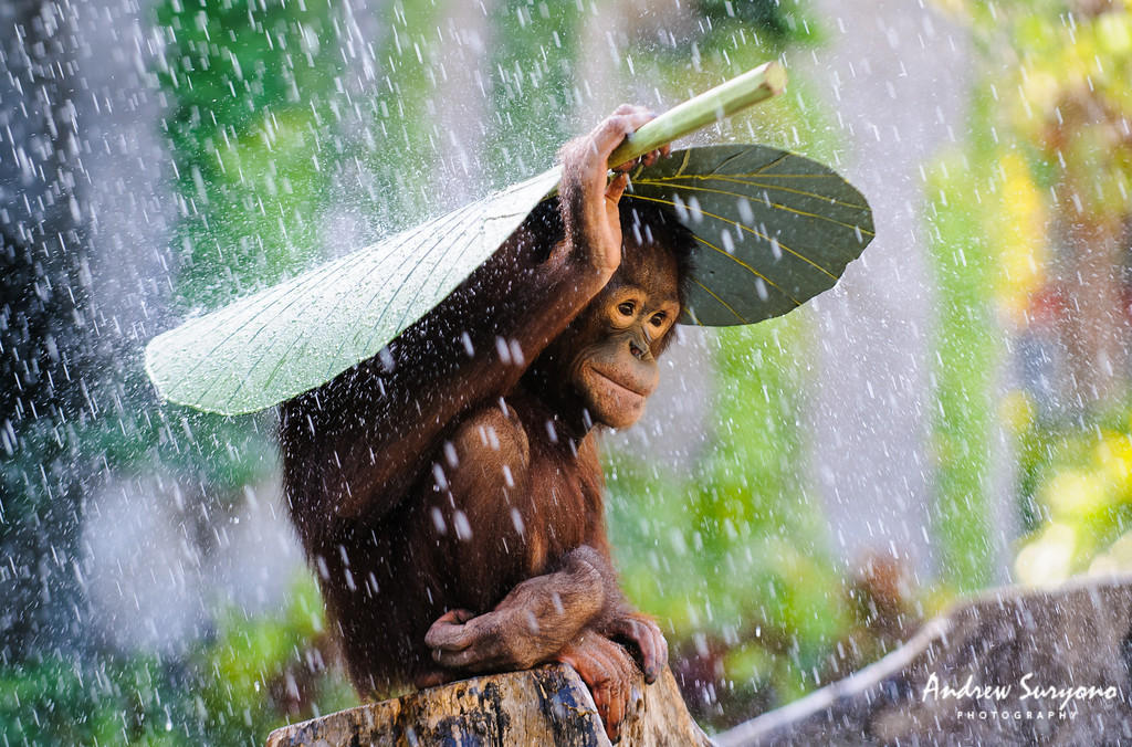 Orangutan in The Rain by Andrew Suryono
